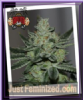 Sin City Sins OG Feminized 7 Cannabis Seeds